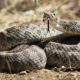 Rattlesnake Tips that could Save Your Dog's Life