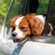 Summer Heat Pet Safety