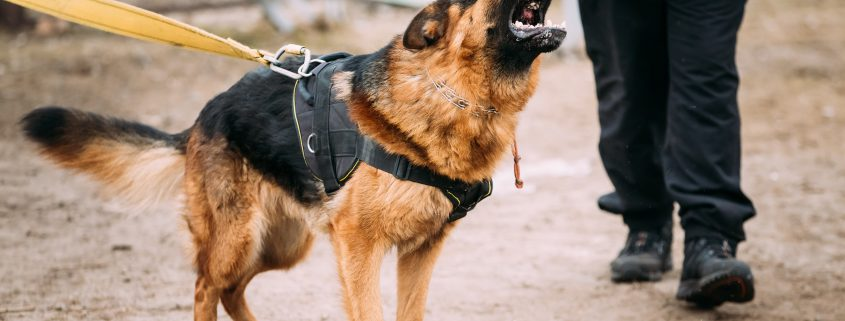 How Poor Obedience Training is part of Dominance Problems