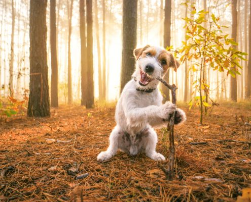 Why Does My Dog Eat Sticks? Tips for Dogs that Eat Sticks, Rocks, & Other Stuff Outside