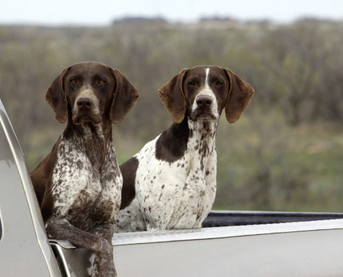 Stop Putting Dogs In Truck Beds, More Than 100,000 Dogs Die Each Year