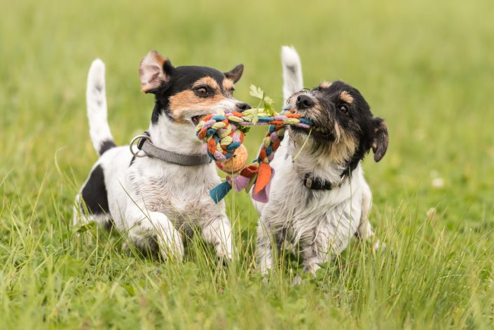 How will your alpha dog fit in at dog daycare