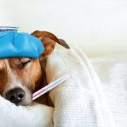 Dog Flu Keep Your Pet Safe