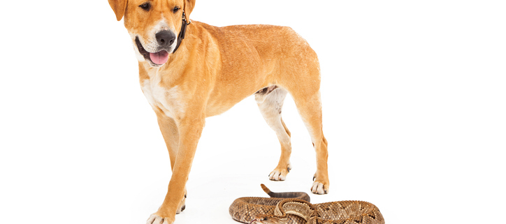 Rattlesnake Safety for Your Pets