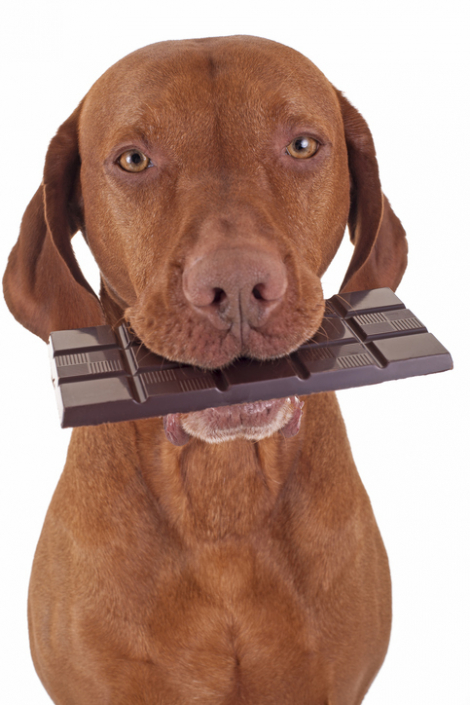 Chocolate is Bad for your Dog. Fact or Fiction