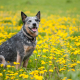 Spotlight Breed Australian Cattle Dog