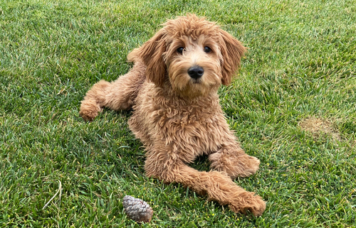 Spotlight Breed Goldendoodle