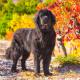 Spotlight Breed Newfoundland