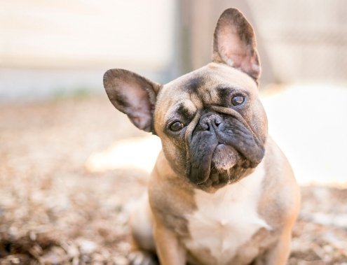 Spotlight Breed French Bulldog