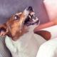 Pet Aggression During Quarantine