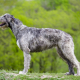 Spotlight Breed Irish Wolfhound