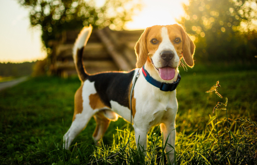 Spotlight Breed Beagle