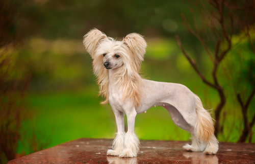 Spotlight Breed Chinese Crested