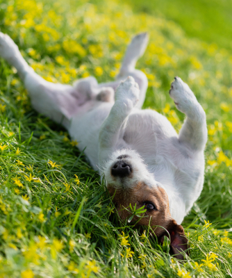 Why Do Dogs Roll in The Grass