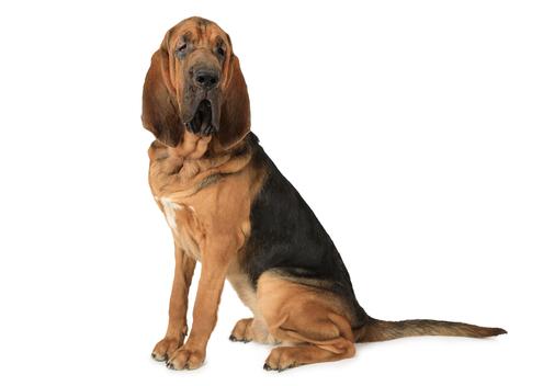 Spotlight Breed Bloodhound
