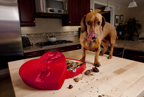 Help! My Dog Ate Chocolate