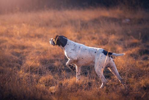 Spotlight Breed Pointer