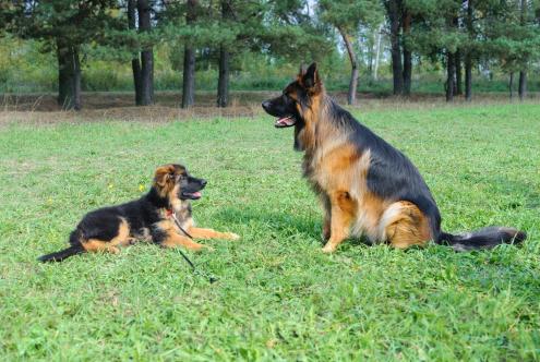 Training Tip Alpha Dog Tips